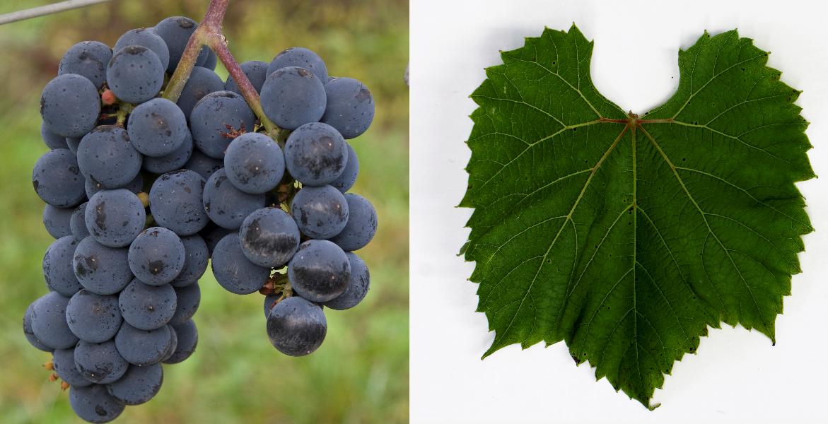 Munson (Jaeger 70) - grape and leaf