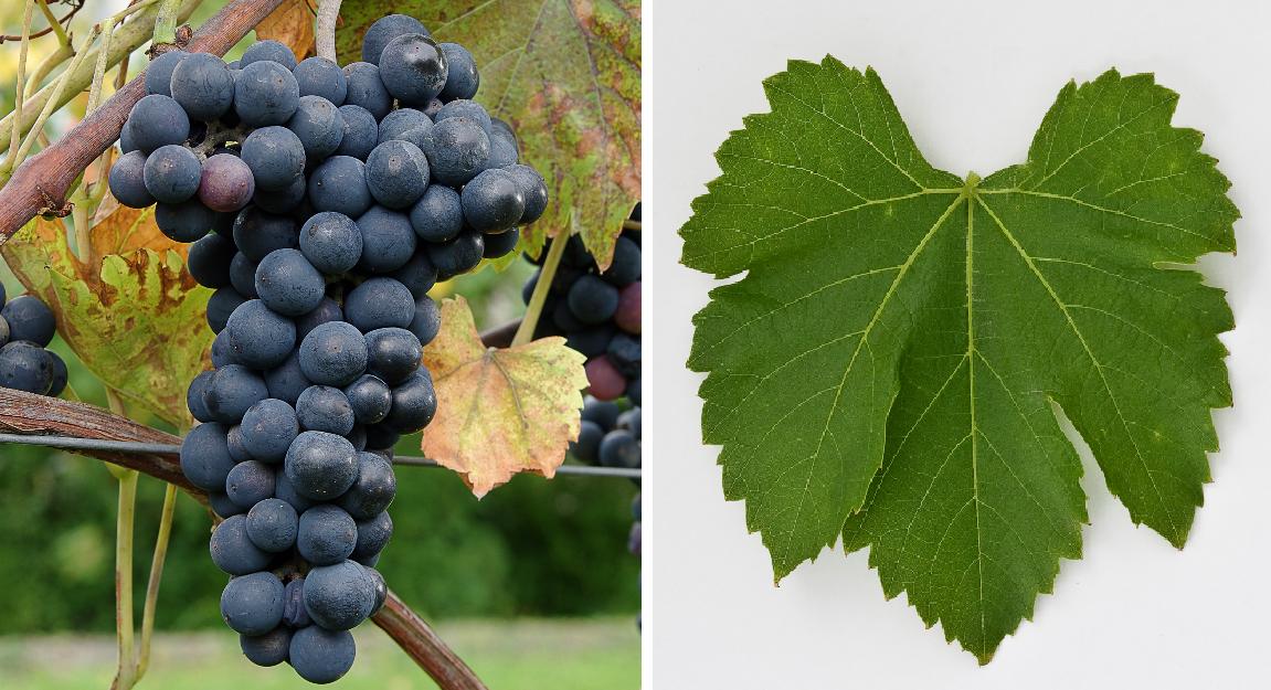 Salvador Noire - grape and leaf